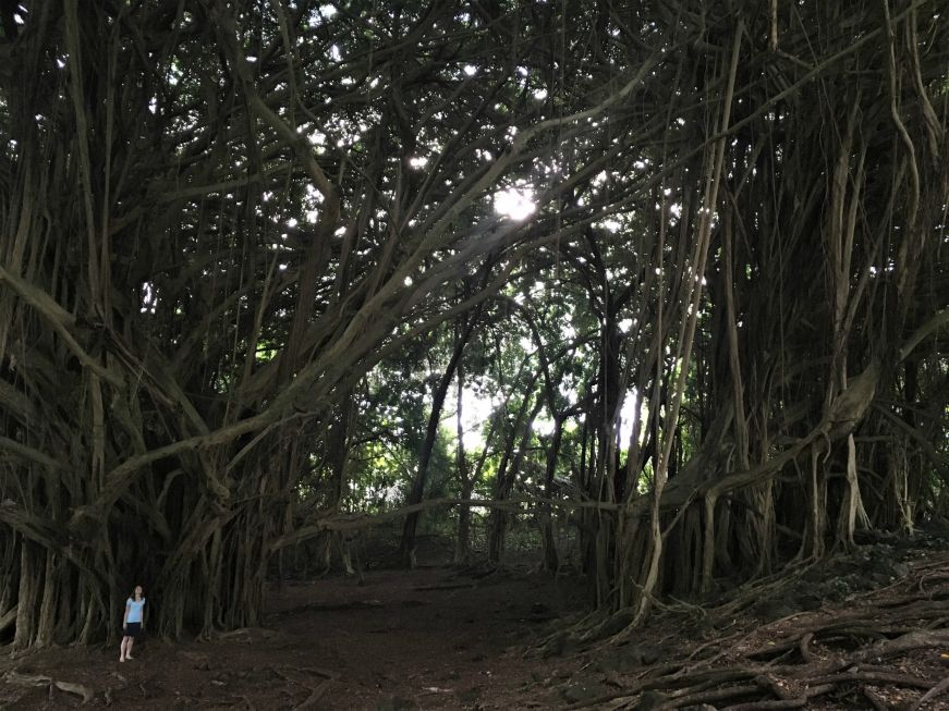 Giant banyan tree with a very small person for scale, near Rainbow Falls, Hilo, Hawaii