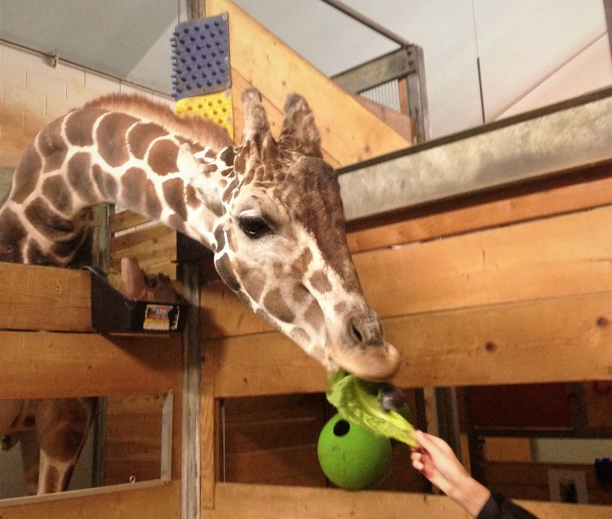 Feeding a giraffe at Como Park Zoo