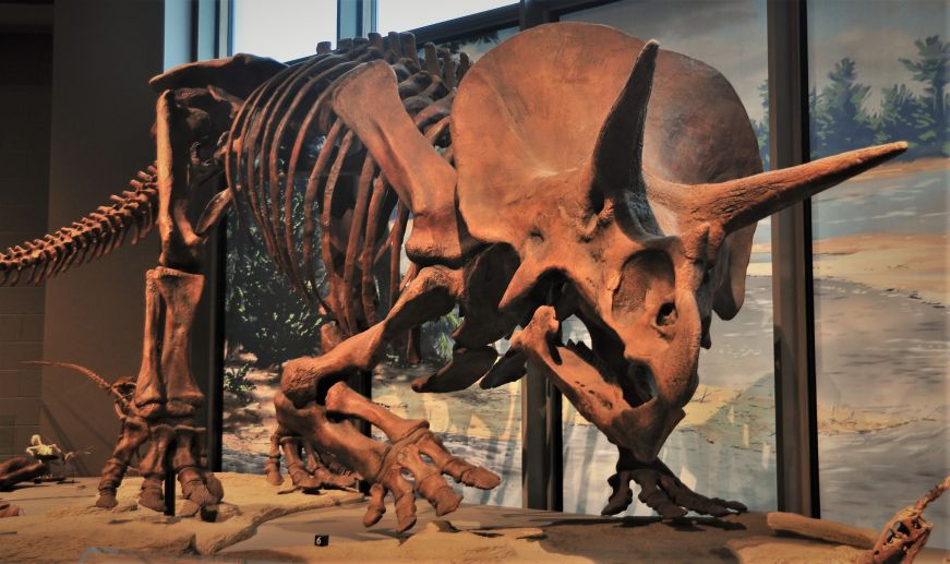 Triceratops fossil, North Dakota Heritage Center and State Museum, Bismarck