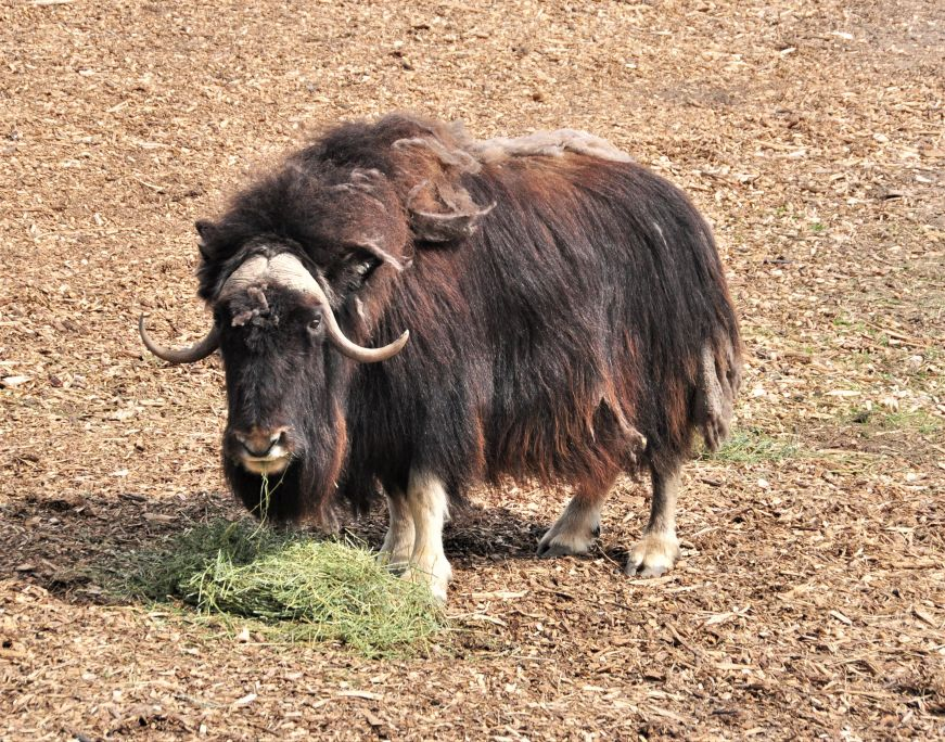 Musk ox at Assiniboine Park Zoo, Winnipeg